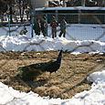 Peacock_at_zoo